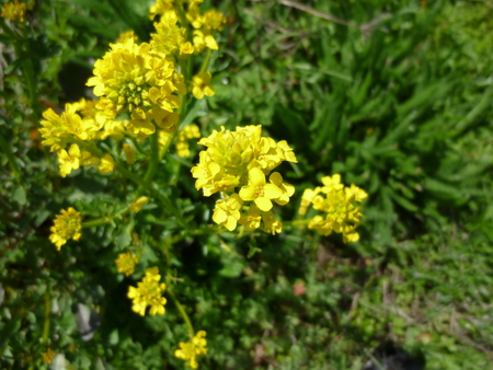 Heritage seedlings perennial plants this native rocket is a biannual or perennial found in wetter meadow habitats and ditches in the willamette valley it has small yellow flowers and clasping mightylinksfo