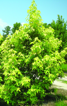 Liquidambar styraciflua 'Gold Beacon'