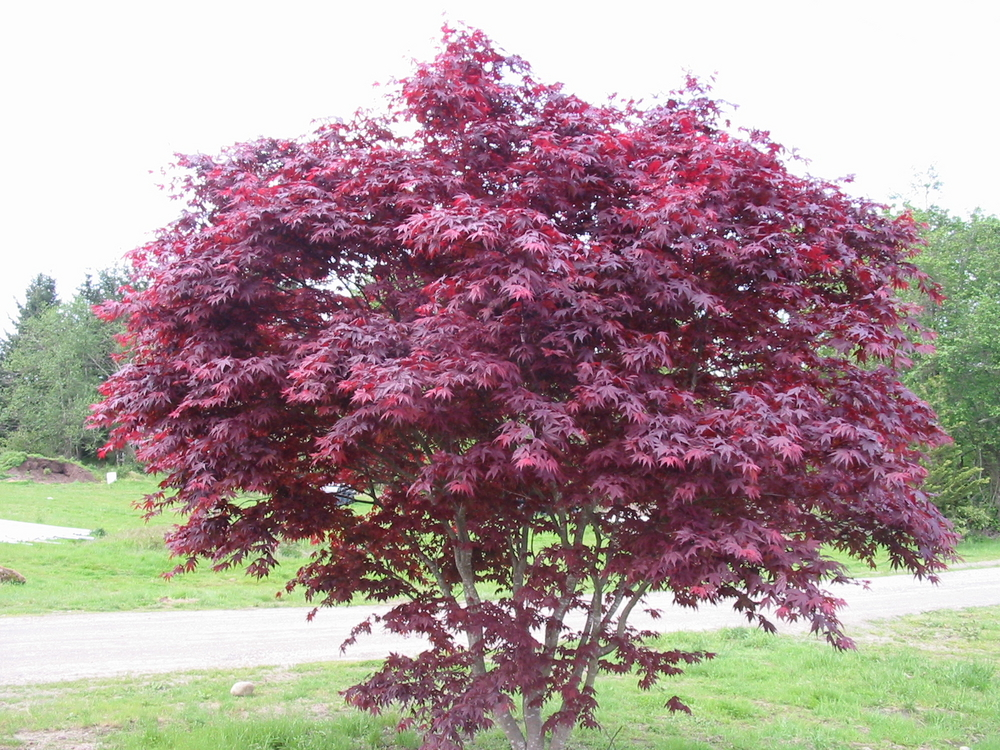 Emperor I Japanese Maple Acer Palmatum Emperor I Wholesale