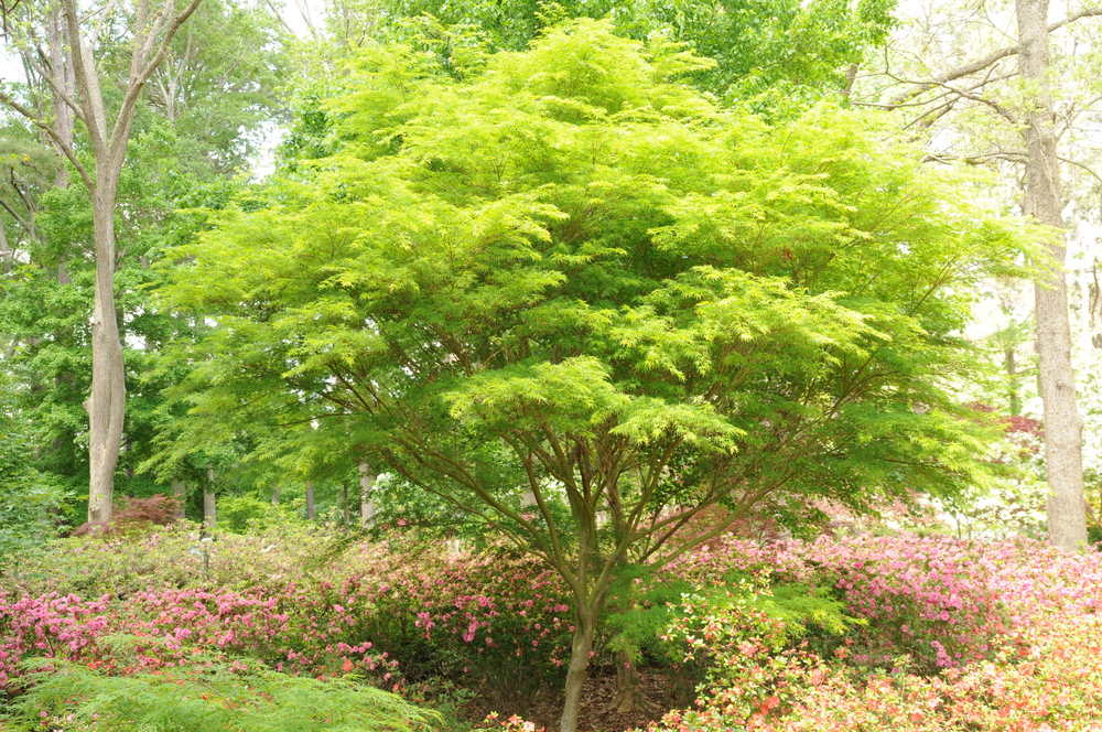 Seiryu Japanese Maple