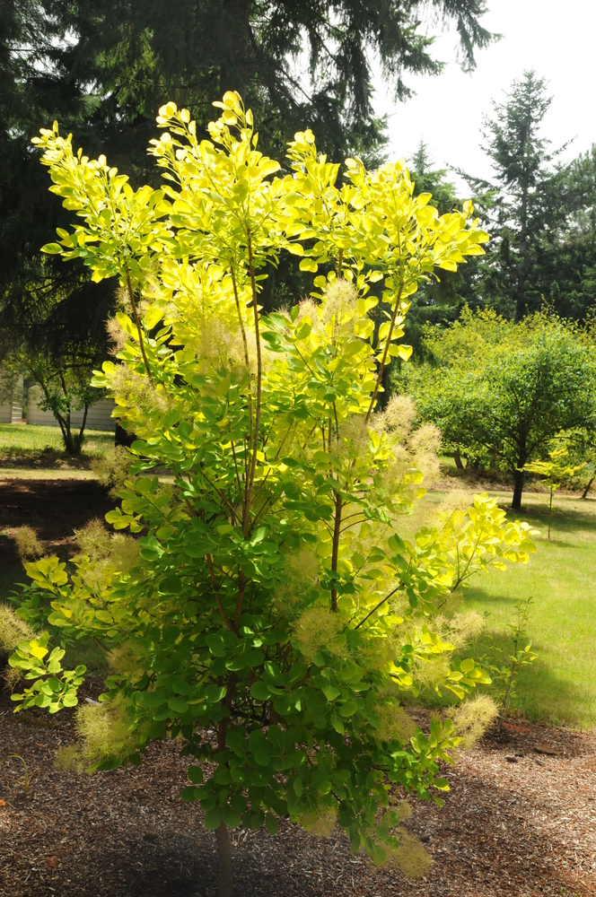 Golden Spirit® Smoketree