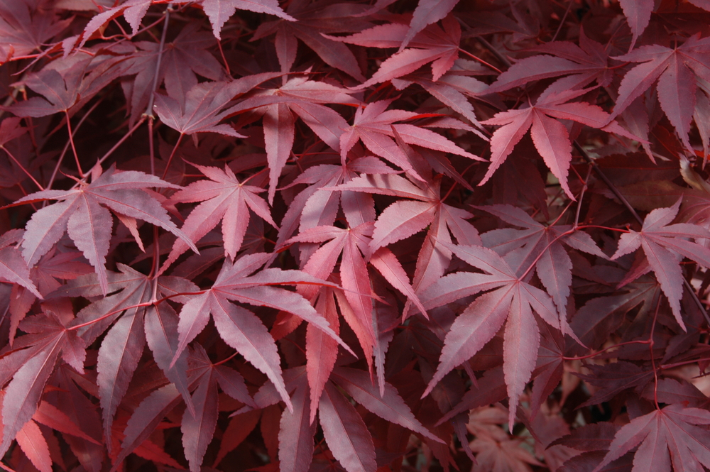 Fireglow Japanese Maple