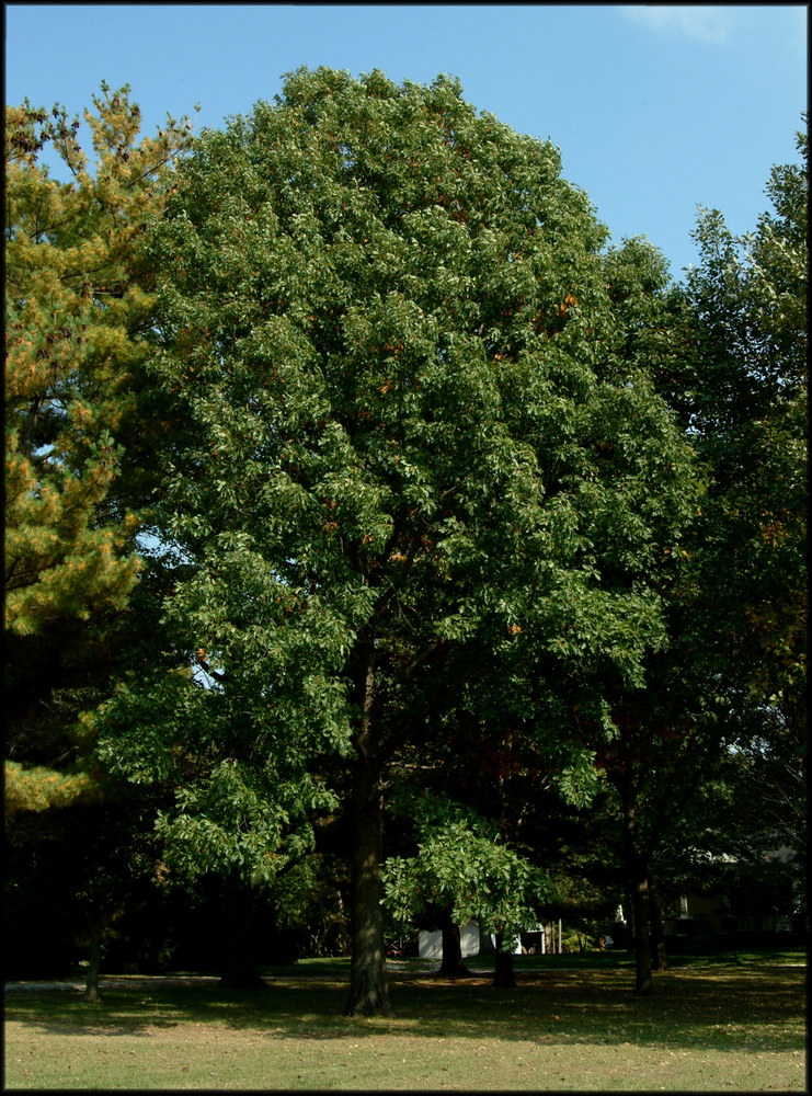 Forest Knight® Hybrid Oak