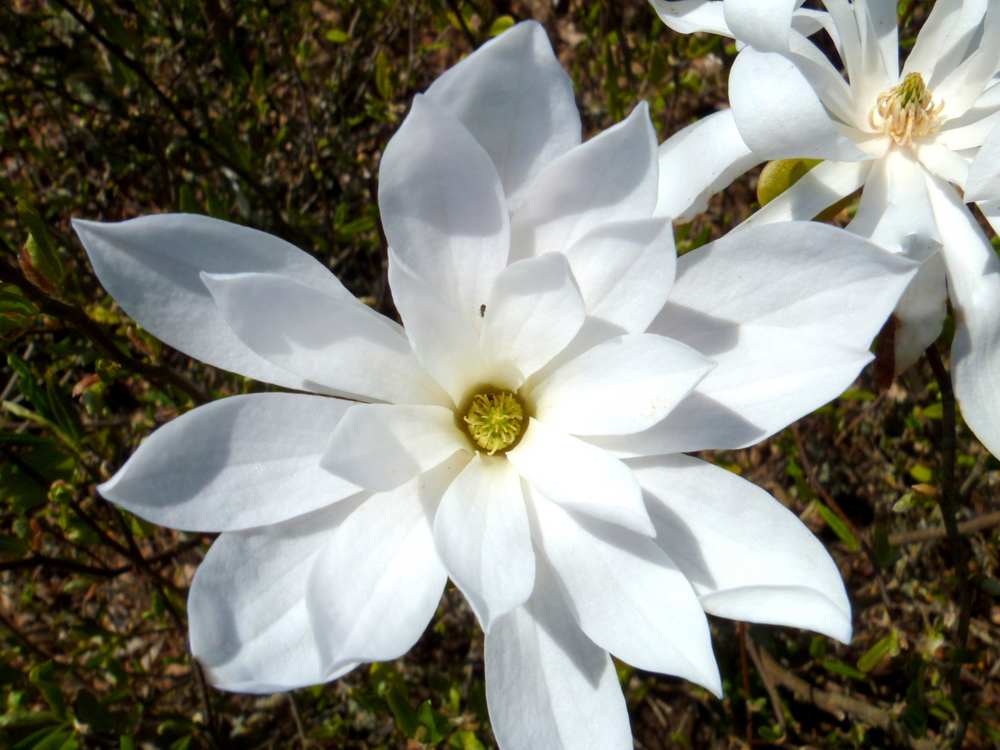 Waterlily Star Magnolia