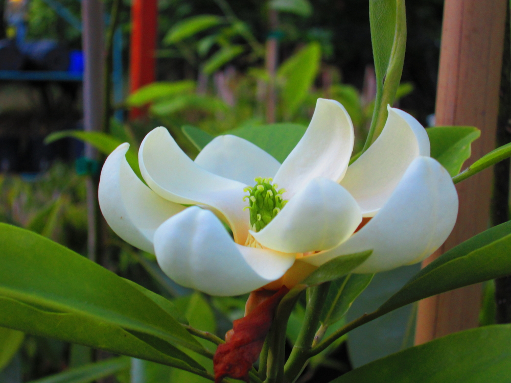 Moonglow® Sweetbay Magnolia