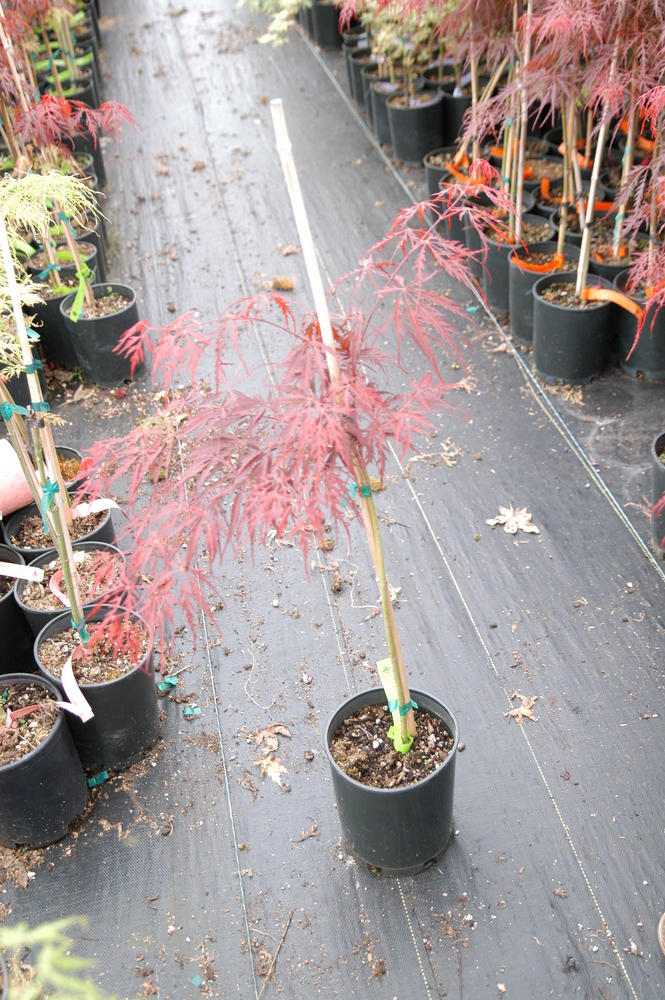 Tamuke yama Japanese Maple
