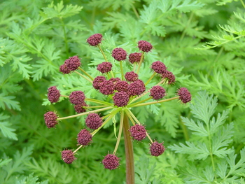 Fern-leaved Lomatium