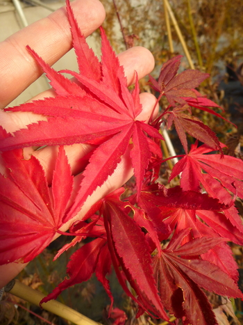 Red Dawn Maple