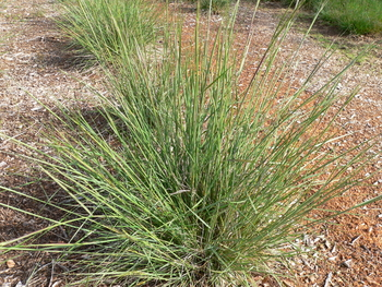 Lemmon's Needlegrass