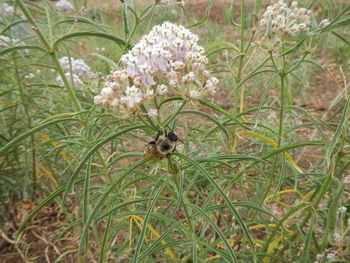 Narrow-leaf Milkweed
