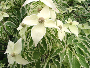 Wolf Eyes Dogwood