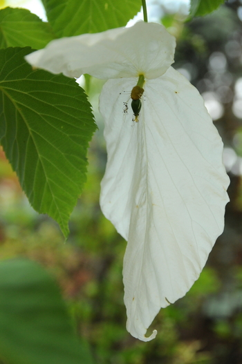Dove Tree, Handkerchief Tree