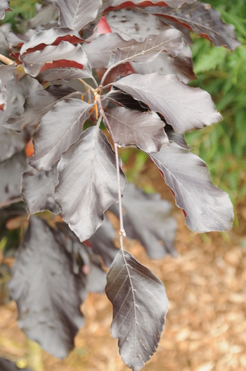 Riversii Purple European Beech