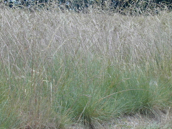Roemer's Fescue