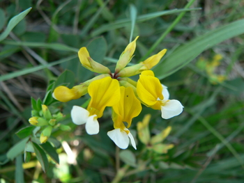Meadow Deervetch