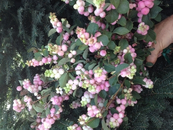 Magical® Pride Snowberry