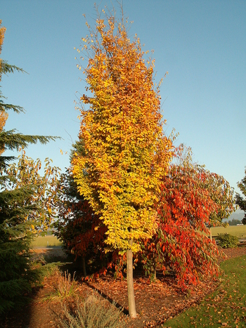 Golden BellTower™ Columnar Ironwood