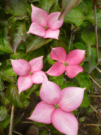 Rosy Teacups Dogwood