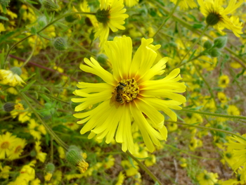 Showy Tarweed, Common Madia