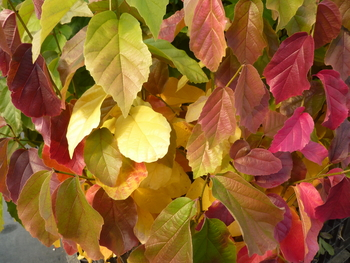 Persian Ironwood/Parrotia