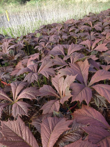 Red Leaf Rodgersia