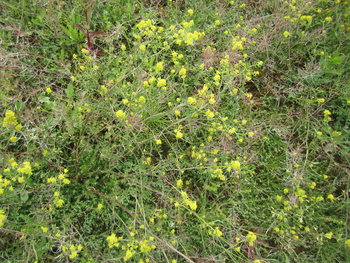 Curvepod Yellowcress