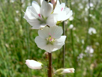Meadow Checkermallow