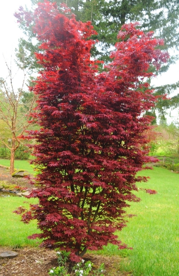 Twombly's Red Sentinel Maple