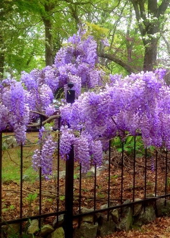 Blue Moon Kentucky Wisteria