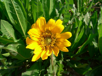 Narrowleaf Mule's Ear