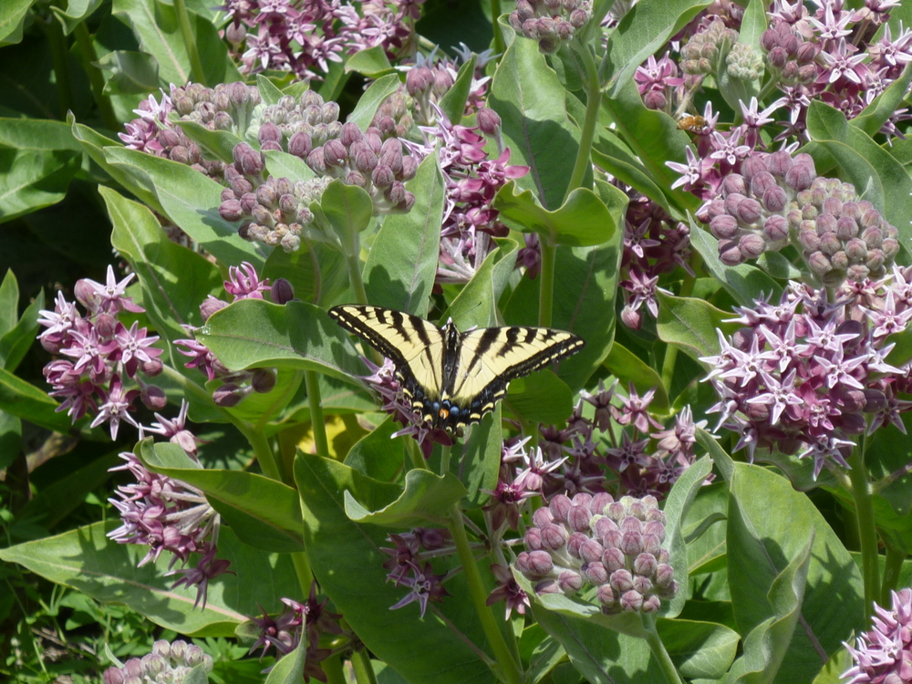 Showy Milkweed and Swallowtail Butterfly