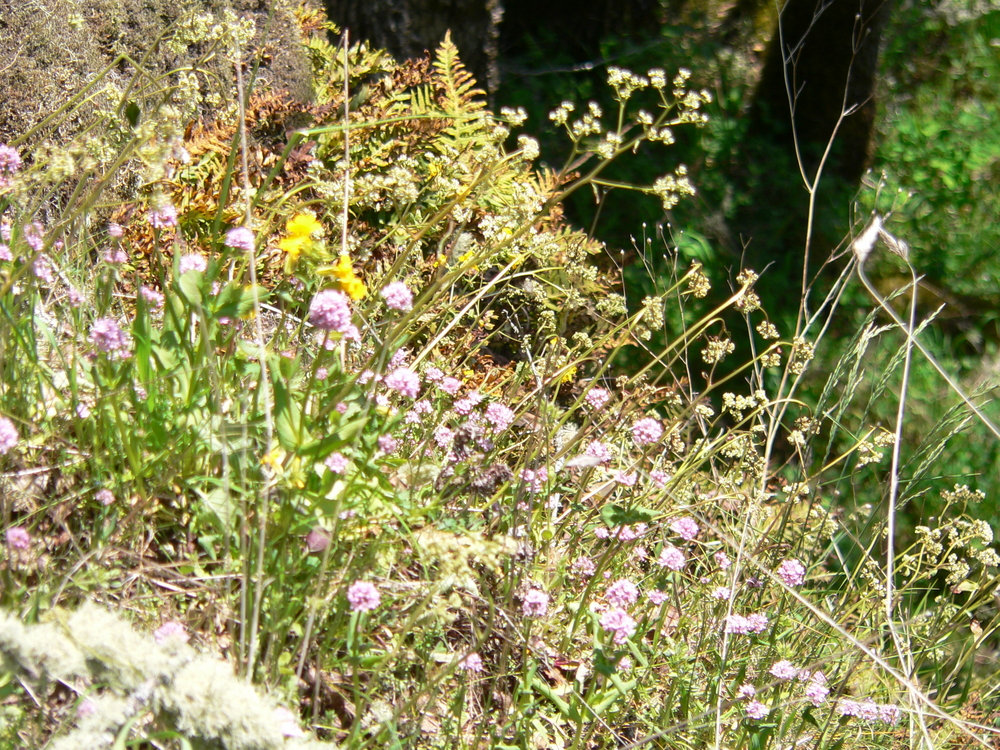 Rosy Plectritis and Swamp Saxifrage