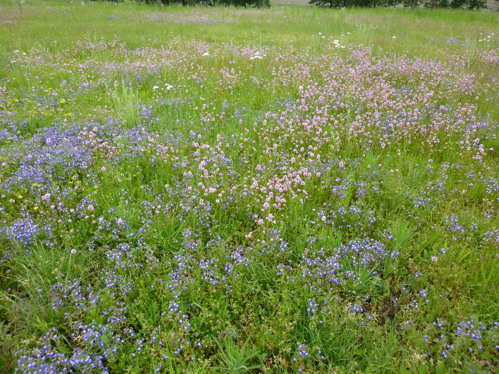 Blue-eyed Mary and Rosy Plectritis in Restored Prairie