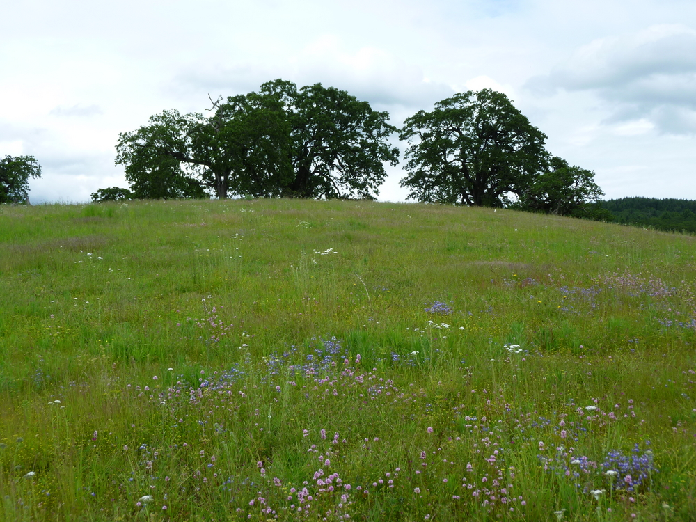 Restored Oak Savanna Grassland